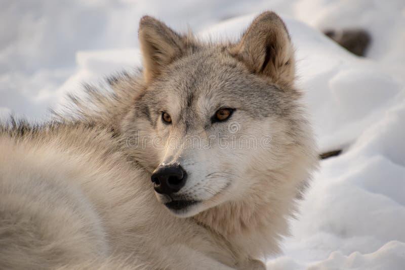 Un lupo artico che impedisce di entrare un occhio per i predatori nella foresta immagine stock libera da diritti