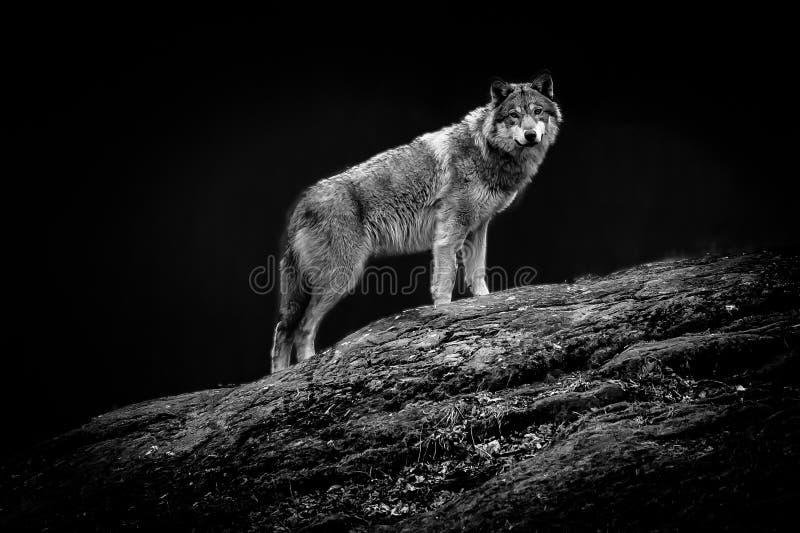 Un lupo che fissa stranamente, la Svezia immagine stock