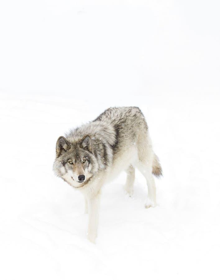 Un lupus de Canis del lobo de madera que camina en la nieve del invierno imagen de archivo