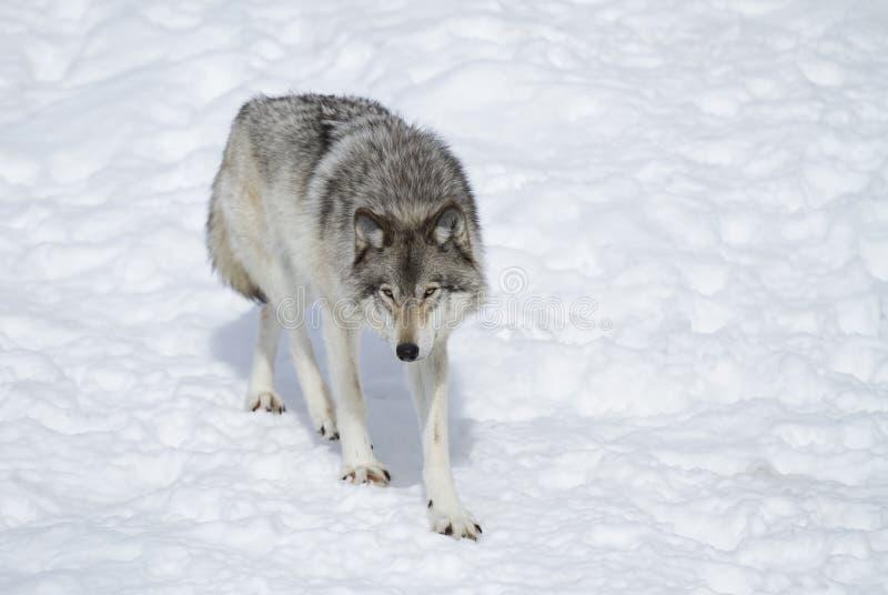 Un lupus de Canis del lobo de madera que se coloca en la nieve del invierno fotografía de archivo