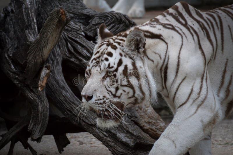 Un mâle blanc de tigre un jour sombre image libre de droits