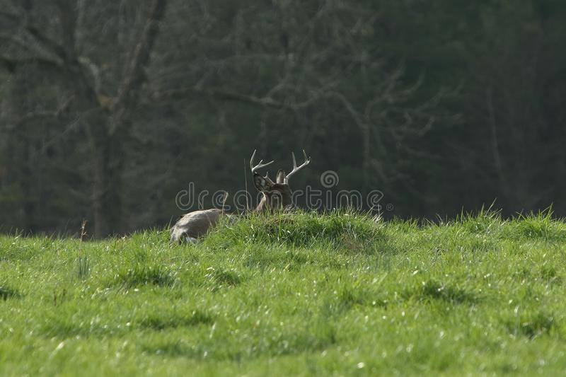 Un mâle de Whitetail de huit points a enfoncé vers le bas dans un pré ensoleillé photos libres de droits
