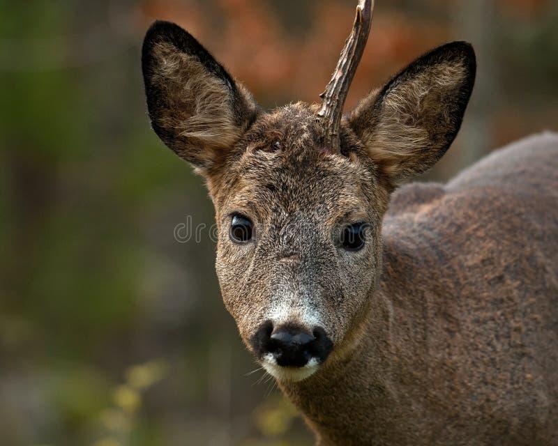 Un mâle Roe Deer qui ont perdu un klaxon et regarder la caméra image libre de droits