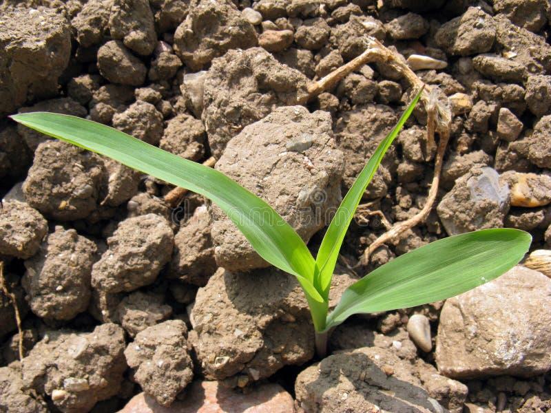 Un maïs de germination photographie stock libre de droits