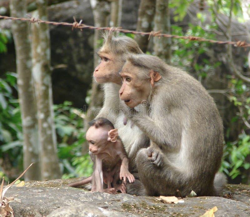 Un macaco di cofano - scimmia indiana - famiglia con il ragazzino della madre, del padre e dell'attivo immagine stock libera da diritti