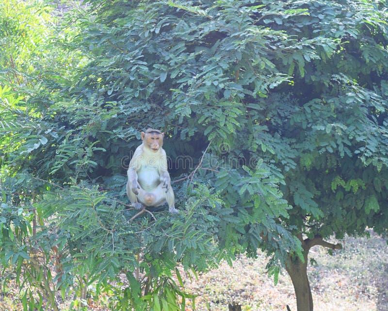 Un Macaque de capo - Macaca Radiata - que se sienta en un árbol imagen de archivo