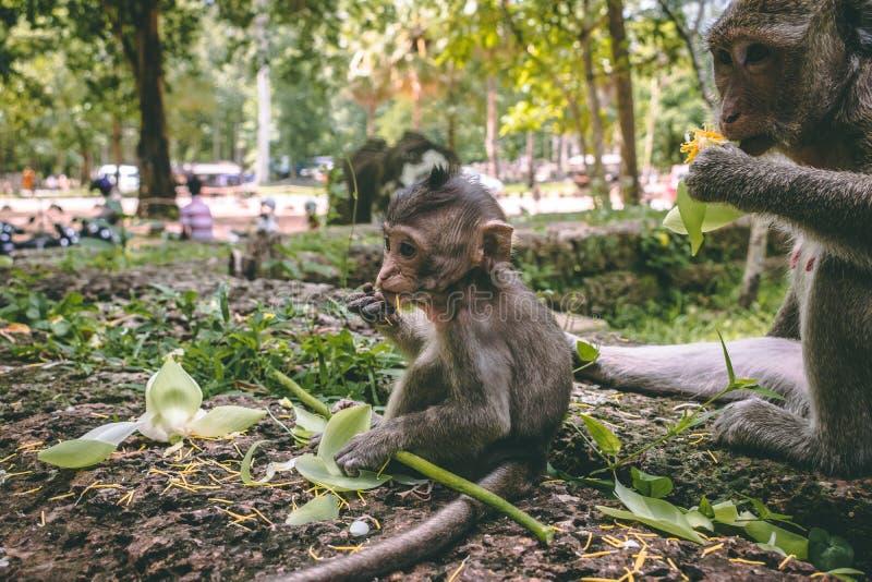 Un macaque de mère et son bébé s'asseyant près des temples d'Angkor Vat au Cambodge photos libres de droits