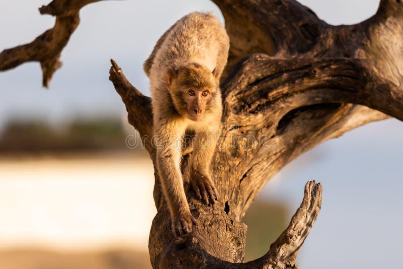 Un macaque n de Barbarie un arbre image stock
