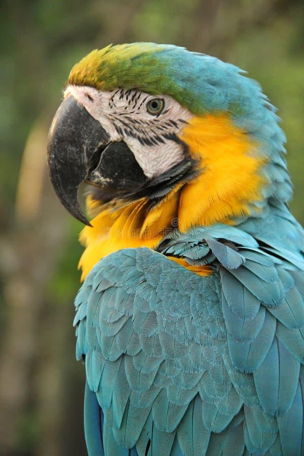 Un Macaw bleu et jaune images libres de droits