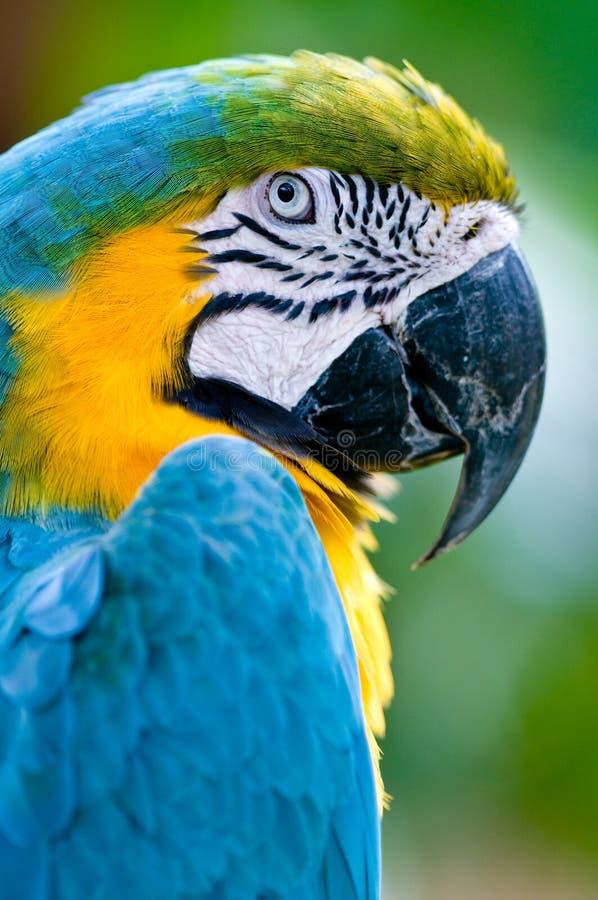 Un macaw coloré dans le sauvage photos libres de droits