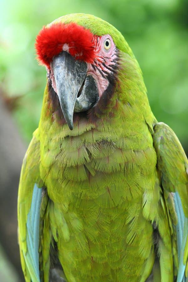 Un Macaw verde imagenes de archivo