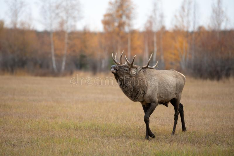 Un macho de los ciervos comunes que ruge durante celo en otoño foto de archivo libre de regalías