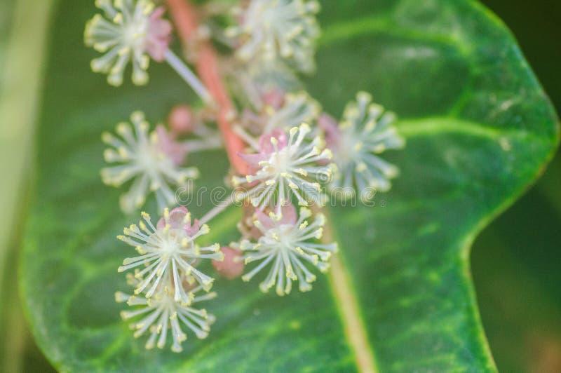 Un macro colpo blury dei germogli di fiore di una pianta di fioritura dell'edera fotografie stock libere da diritti