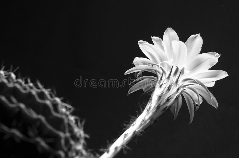 Un macro plan rapproché d'une belle fleur tendre de cactus d'Echinopsis Lobivia et d'une guerre biologique en épi épineuse d'usin photo stock