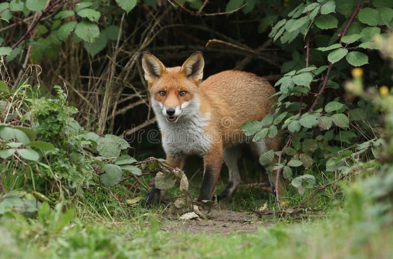 Un magnífico zorro rojo salvaje cazador, vulpes vulpes, emergiendo del subcrecimiento imagen de archivo libre de regalías