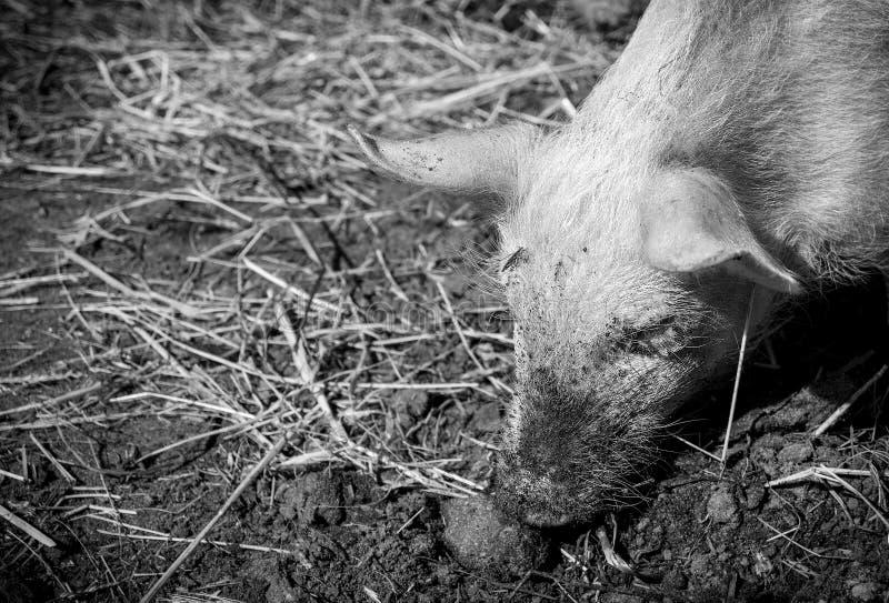 Un maiale fotografie stock