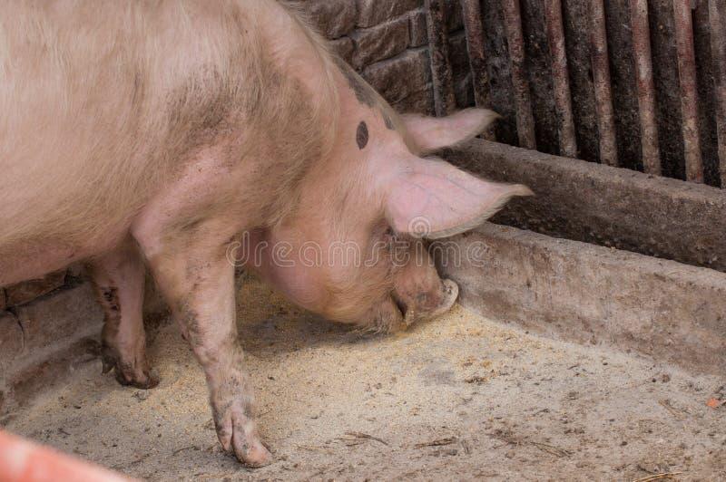 Un maiale adulto mangiare alimento dal pavimento Animale domestico esterno fotografia stock