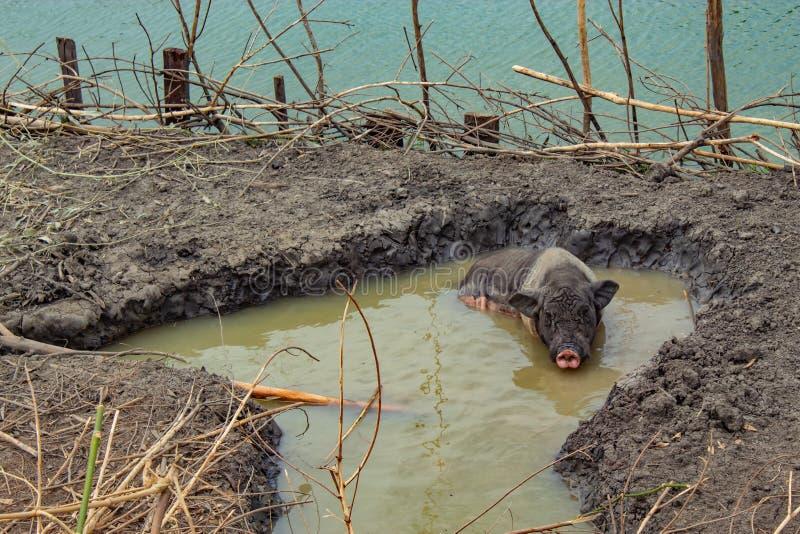 Un maiale che gioca suolo ed acqua sull'azienda agricola fotografia stock libera da diritti