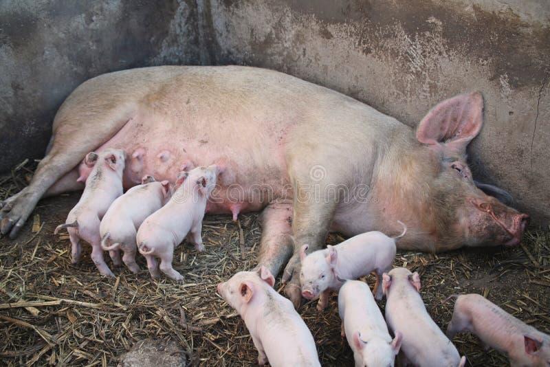Un maiale di mamma con i suoi porcellini fotografia stock