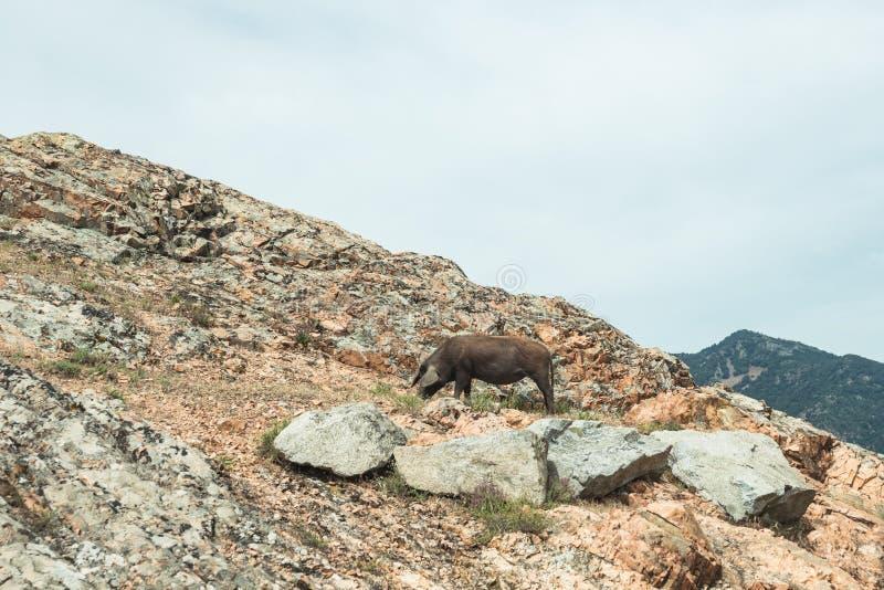 Un maiale selvaggio sulle rocce in montagne di Gennargentu, Sardegna, Italia fotografia stock