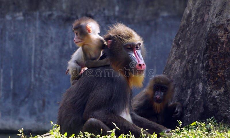 Un mandrill de bébé sur l'épaule de sa mère photographie stock libre de droits
