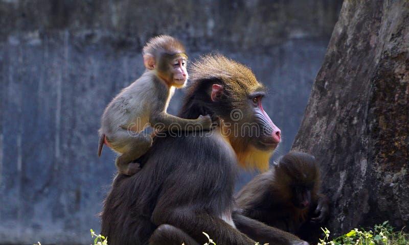 Un mandrin de bébé avec sa mère photo stock