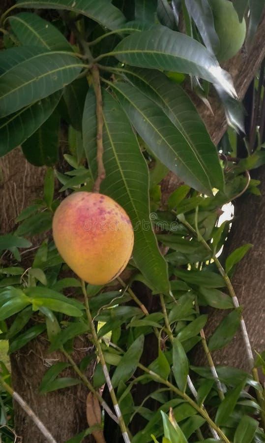 Un manguier dans un secteur tropical image libre de droits