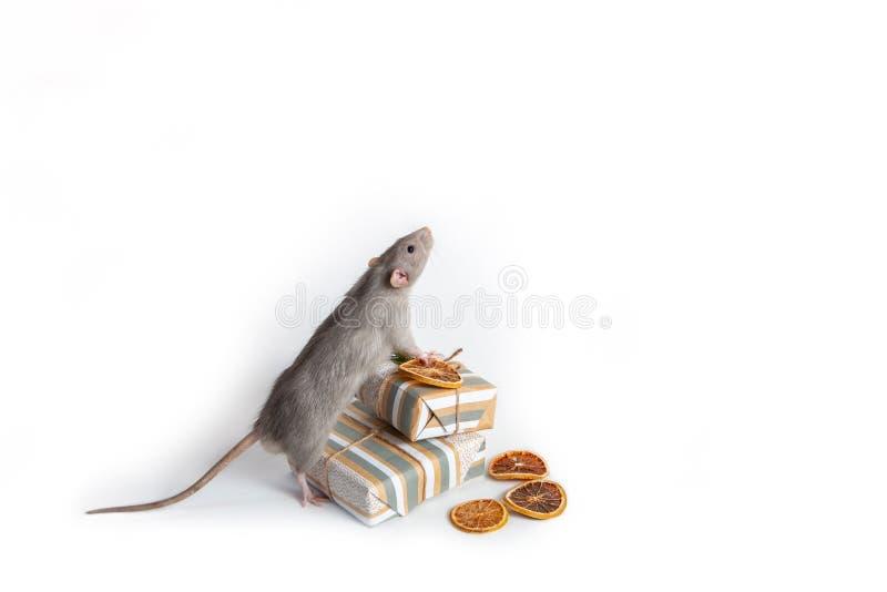 Un mannequin de rat décoratif se tient sur ses pattes arrières à côté de cadeaux sur fond blanc images libres de droits