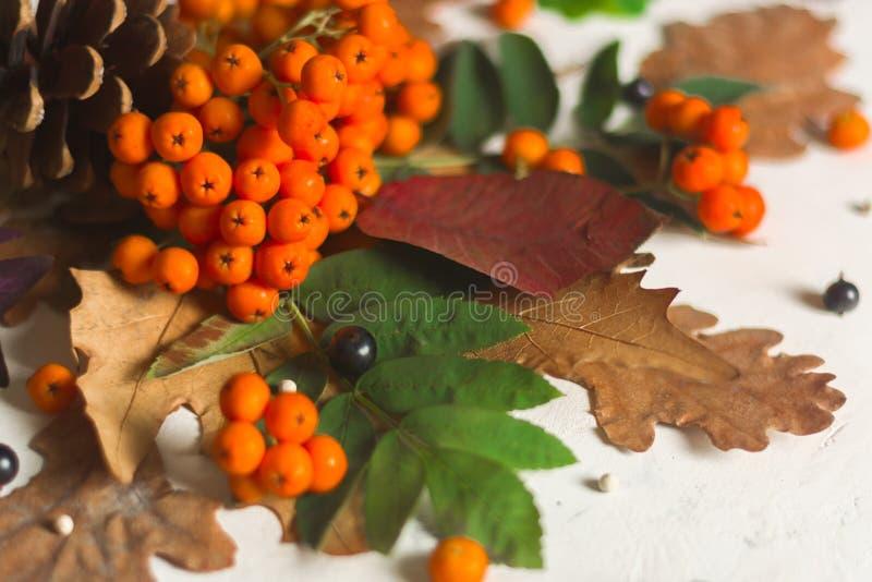 Un manojo de ceniza de montaña anaranjada madura con las hojas verdes Hojas secas del otoño Bayas negras Piedra o yeso blanca fotos de archivo