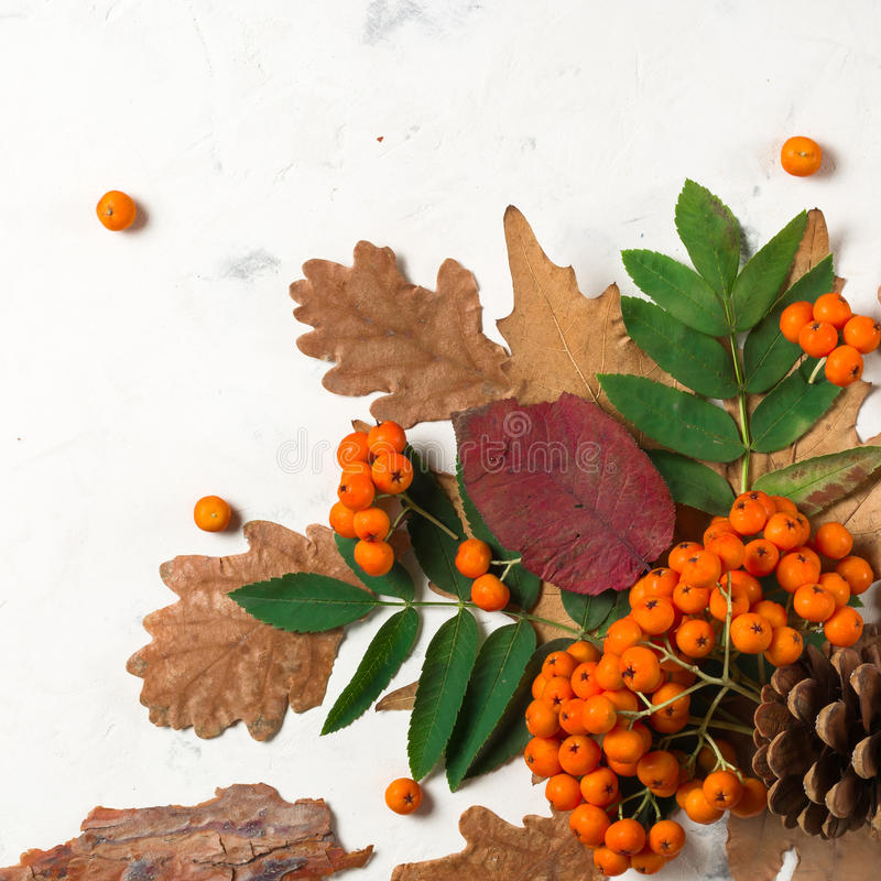 Un manojo de ceniza de montaña anaranjada madura con las hojas verdes Hojas secas del otoño Bayas negras Piedra o yeso blanca imagenes de archivo