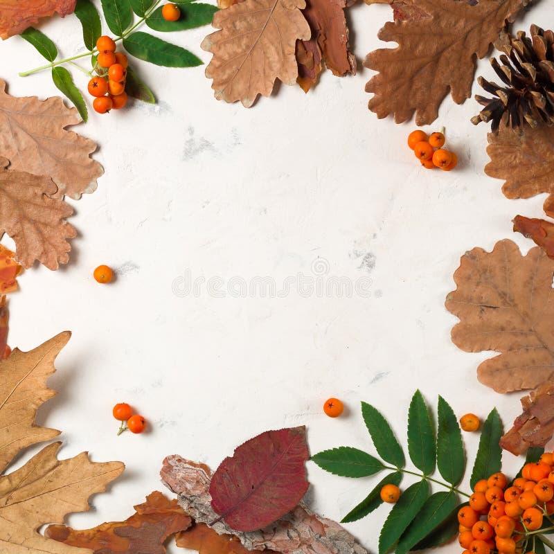 Un manojo de ceniza de montaña anaranjada madura con las hojas verdes Hojas secas del otoño Bayas negras Piedra o yeso blanca fotos de archivo libres de regalías