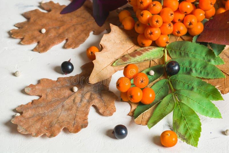 Un manojo de ceniza de montaña anaranjada madura con las hojas verdes Hojas secas del otoño Bayas negras Piedra o yeso blanca foto de archivo