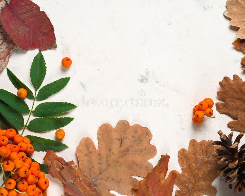 Un manojo de ceniza de montaña anaranjada madura con las hojas verdes Hojas secas del otoño Bayas negras Piedra o yeso blanca imágenes de archivo libres de regalías