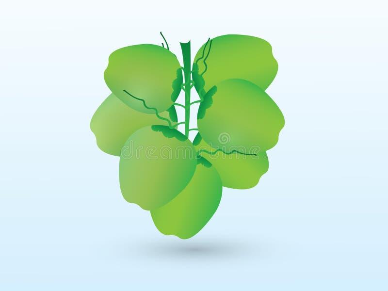Un manojo de coco verde fresco apenas desplumado de árbol en el fondo blanco ilustración del vector