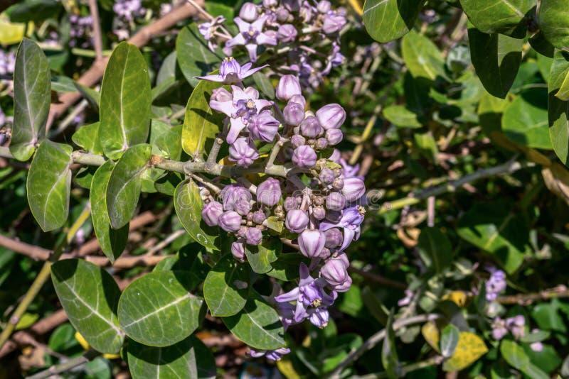 Un manojo de gigantea de Calotropis o de flor india gigante del Milkweed imagen de archivo