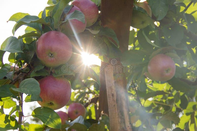 Un manojo de manzanas rojas en una rama lista para ser cosechado con los rayos del sol imagen de archivo