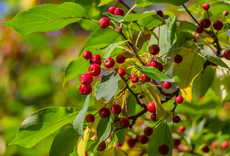 Un manojo de manzano salvaje con las pequeñas manzanas y hojas rojas brillantes del verde y del amarillo fotos de archivo libres de regalías