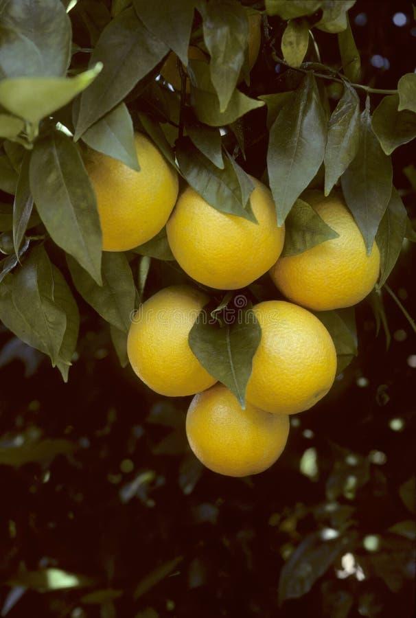 Un manojo de naranjas de la Florida que cuelgan de un árbol fotografía de archivo libre de regalías