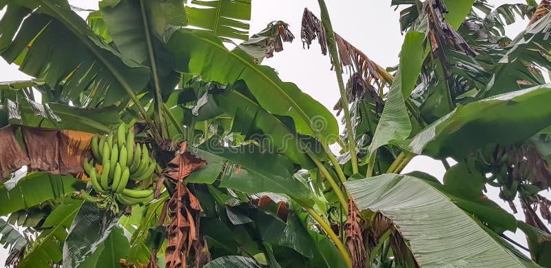 Un manojo de plátanos verdes en el árbol - agricultura en África imagen de archivo libre de regalías
