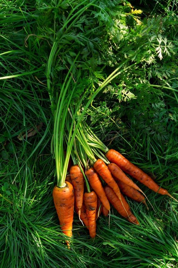 Un manojo de zanahorias en la hierba, una nueva cosecha foto de archivo libre de regalías