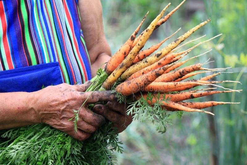 Un manojo de zanahorias jovenes en las manos de una mujer mayor foto de archivo libre de regalías