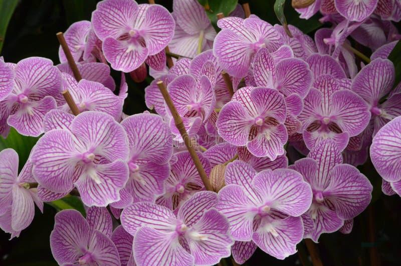 Un manojo hermoso brillante de orquídeas imagenes de archivo