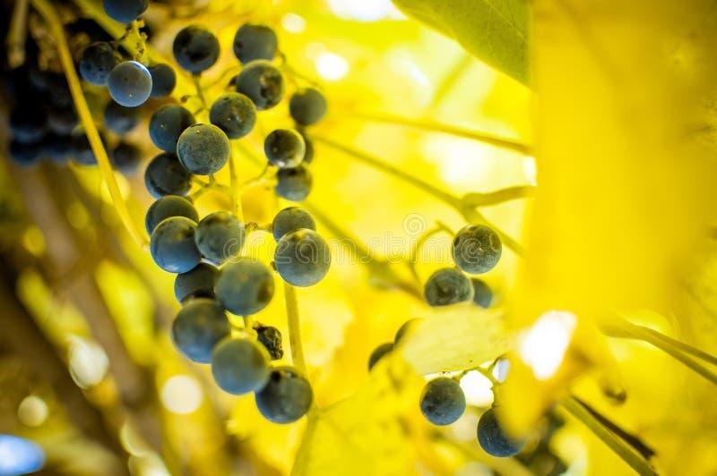 Un manojo maduro de uvas azules imágenes de archivo libres de regalías