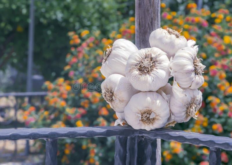 Un manojo redondo grande de ajo secado en la cerca contra el contexto de un jardín de florecimiento soleado del verano fotografía de archivo
