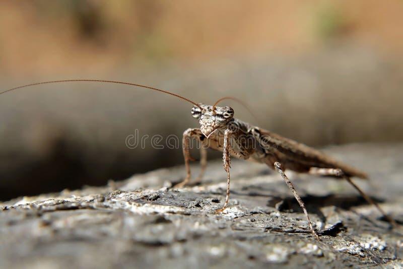 Un mantis de prière photographie stock