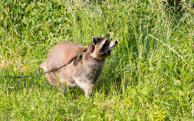 Un mapache doméstico con rienda principales foto de archivo