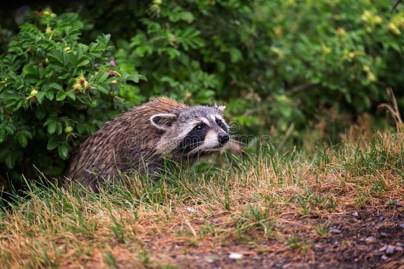 Un mapache espera en los arbustos en Montreal imagenes de archivo