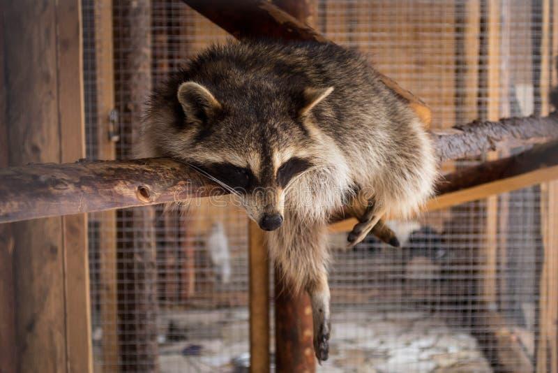 Un mapache que tiene resto al mediodía foto de archivo libre de regalías