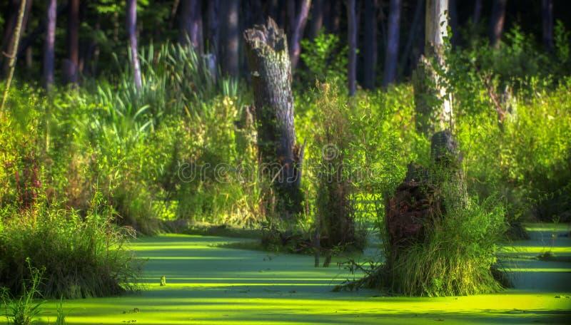 Un marais dans une forêt de pin, complètement couverte d'algues images libres de droits