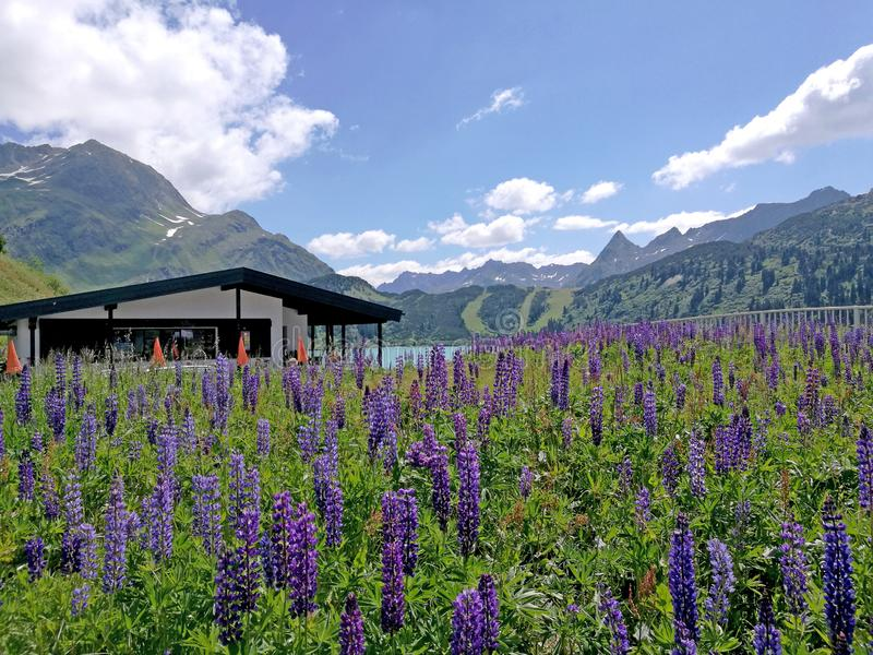 Un mare di fiori di lupino blu fotografia stock